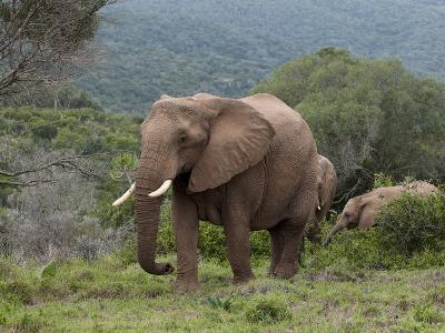 Elephant (Loxodonta Africana), Kariega Game Reserve, South Africa, Africa-Sergio Pitamitz-Photographic Print