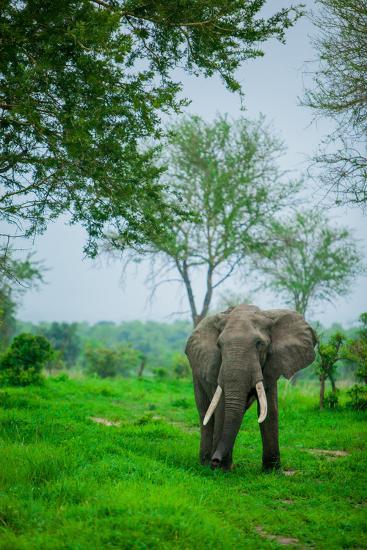 Elephant on Safari, Mizumi Safari Park, Tanzania, East Africa, Africa-Laura Grier-Photographic Print
