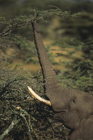 Elephant Reaching for Food-DLILLC-Photographic Print