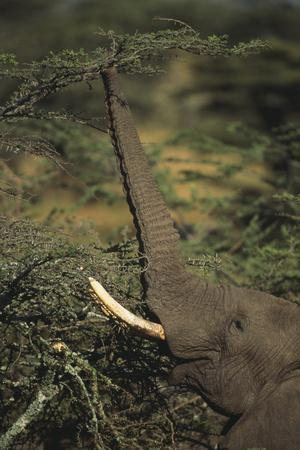 https://imgc.artprintimages.com/img/print/elephant-reaching-for-food_u-l-pzrhht0.jpg?p=0