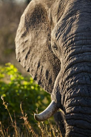 Elephant, Sabi Sabi Reserve, South Africa--Photographic Print