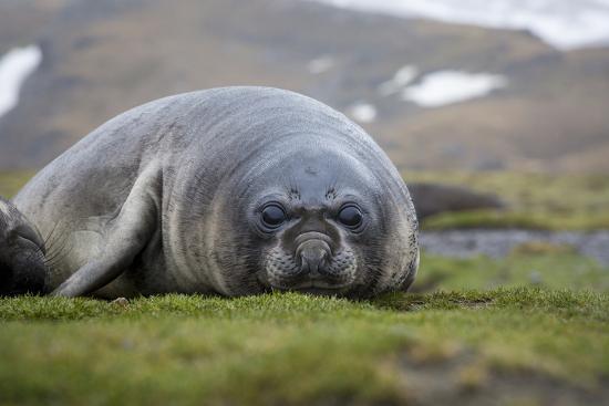 Elephant seal. Fortuna Bay, South Georgia Islands.-Tom Norring-Photographic Print