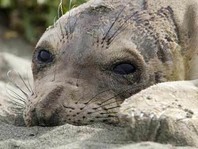 Elephant Seal Relaxing on the Beach, California-Rich Reid-Photographic Print