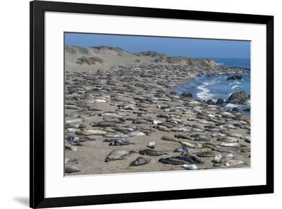 Elephant Seals on Beach, San Simeon, California-Zandria Muench Beraldo-Framed Premium Photographic Print