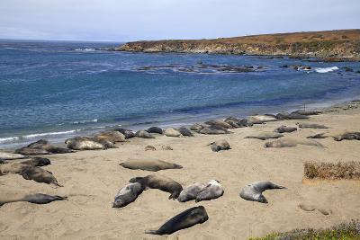 Elephant Seals, Piedras Blancas, San Simeon, California-Peter Bennett-Photographic Print