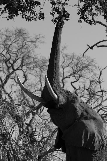 Elephant Stretching Trunk Up to Graze from a Tree in Northern Botswana-Beverly Joubert-Photographic Print