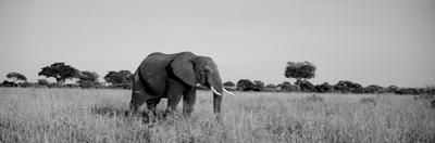 Elephant Tarangire Tanzania Africa