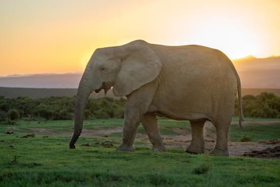 Elephant Travels in Sunset, South Africa, Addo Elephant Park-Stefan Oberhauser-Photographic Print