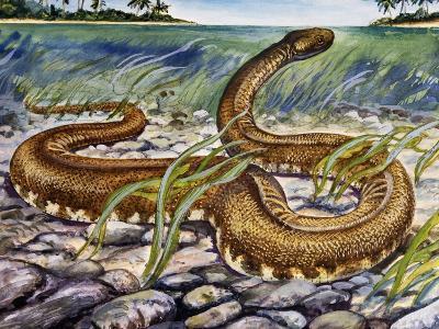 Elephant Trunk Snake (Acrochordus Javanicus), Acrochordidae--Giclee Print