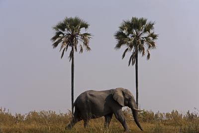 Elephant Walking Centered Between Two Palms in Northern Botswana-Beverly Joubert-Photographic Print