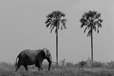 https://imgc.artprintimages.com/img/print/elephant-walking-in-northern-botswana_u-l-pu6eb40.jpg?p=0