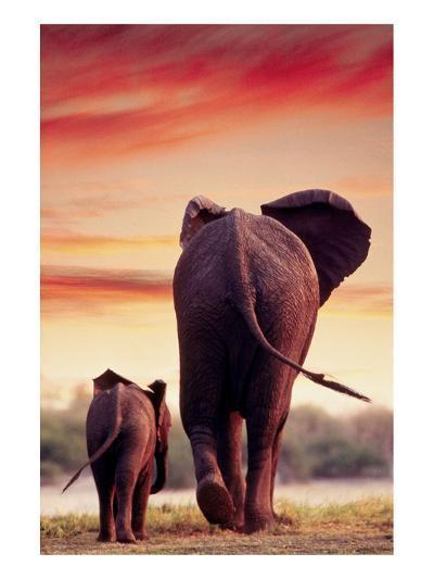 Elephant Walking with Calf--Art Print