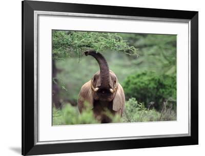 Elephant Waving its Trunk - Samburu Nr, Kenya-DLILLC-Framed Photographic Print