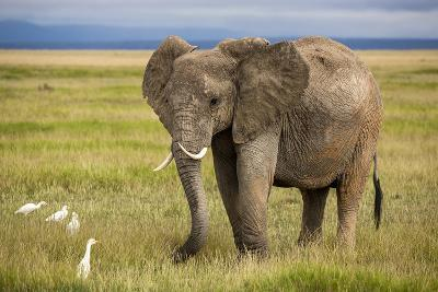 Elephant with Curved Tusks-dmussman-Photographic Print