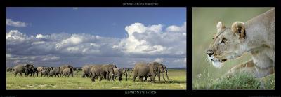 Elephants and Lioness-Michel & Christine Denis-Huot-Art Print