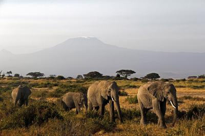Elephants and Mt Kilimanjaro, Amboseli, Kenya, Africa-Kymri Wilt-Photographic Print