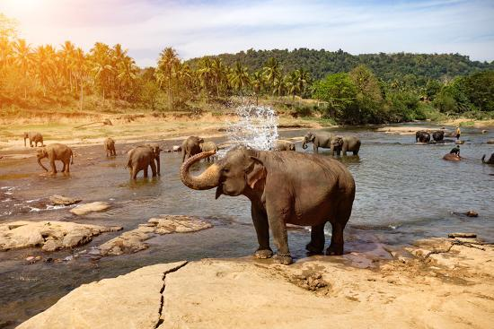 Elephants Bathing in the River. National Park. Pinnawala Elephant Orphanage. Sri Lanka.-Travel landscapes-Photographic Print