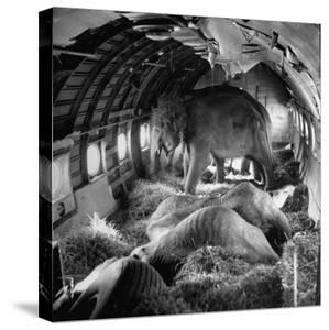 Elephants Being Transported by Airplane