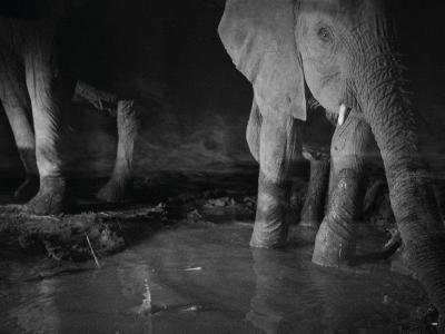 Elephants drink from a waterhole made by swimming pool overflow-Michael Nichols-Photographic Print