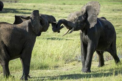 Elephants Fighting, Chobe National Park, Botswana-Paul Souders-Photographic Print