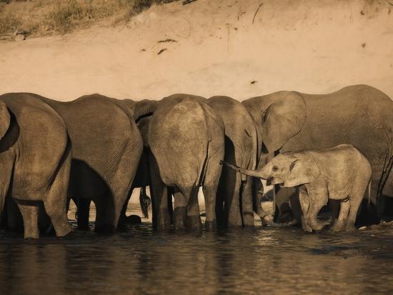 Elephants (Loxodonta Africana) in Chobe River, Botswana, Africa-Kim Walker-Photographic Print