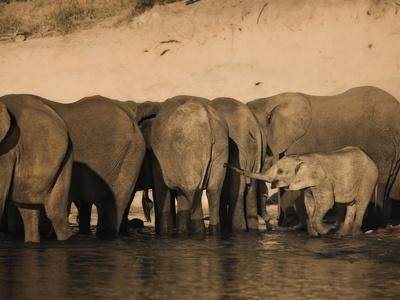 https://imgc.artprintimages.com/img/print/elephants-loxodonta-africana-in-chobe-river-botswana-africa_u-l-pfo02h0.jpg?p=0