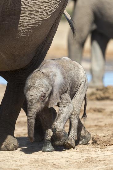 Elephants (Loxodonta Africana) New-Born, Addo Elephant National Park, South Africa, Africa-Ann and Steve Toon-Photographic Print