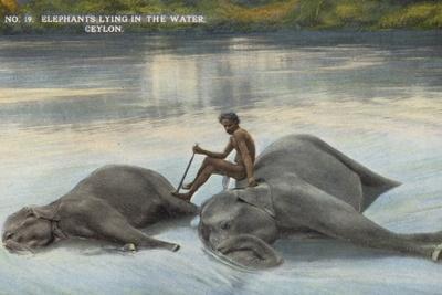 Elephants Lying in the Water, Ceylon--Photographic Print