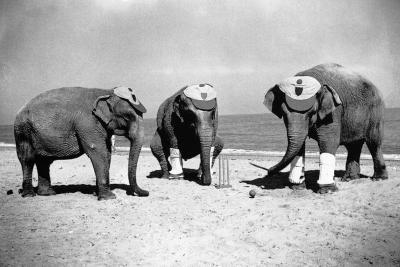 Elephants Play Beach Cricket--Photographic Print