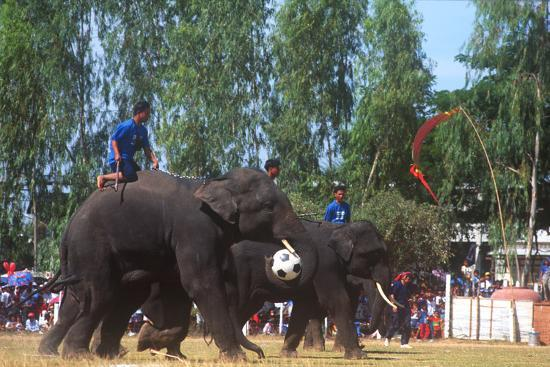 Elephants Playing Soccer, Elephant Round-Up, Surin, Thailand--Photographic Print