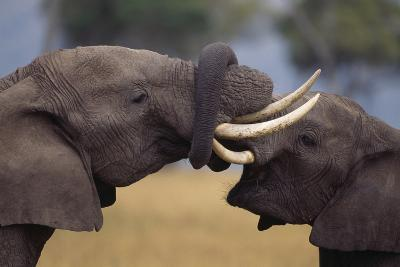 Elephants with Trunks Entwined-DLILLC-Photographic Print