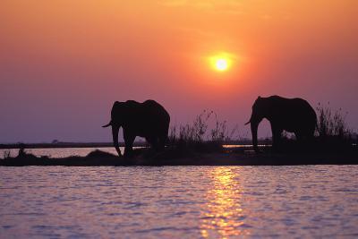 Elephants--Photographic Print