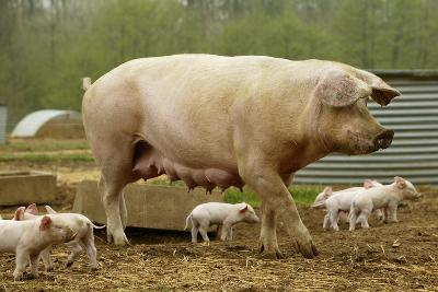 """Elevage """"Large White"""" Pig and Piglets in Sty--Photographic Print"""