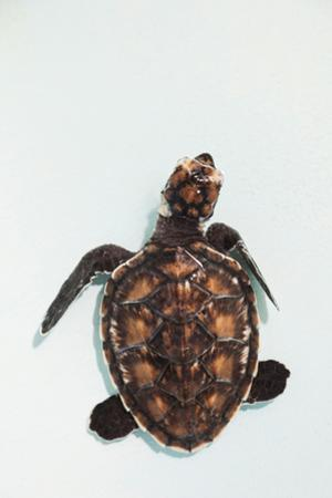 Elevated view of Baby Sea turtle, Old Hegg Turtle Sanctuary, Park Bay, Bequia, Saint Vincent And...
