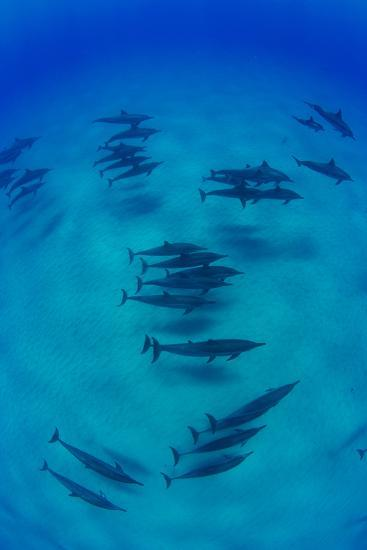 Elevated View of School of Dolphins Swimming in Pacific Ocean, Hawaii, USA--Photographic Print