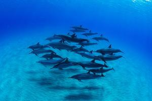 Elevated View of School of Dolphins Swimming in Pacific Ocean, Hawaii, USA