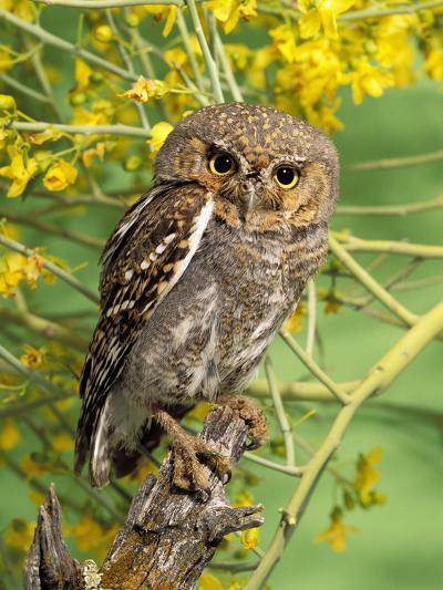 Elf Owl, (Micrathene Whitneyi) Tortalita Mtns, Tucson, Arizona, USA, Captive-Rick & Nora Bowers-Photographic Print
