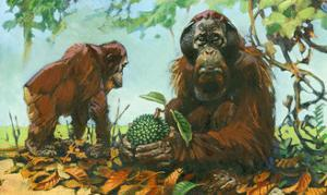 Borneo Orangutans Prefer an Aboreal Life, Coming Down Only as Needed by Elie Cheverlange