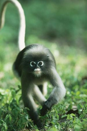 Adult Dusky Leaf Monkey (Trachypithecus Obscurus) Running, Thailand 1996