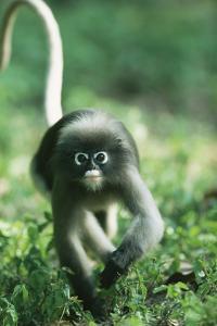 Adult Dusky Leaf Monkey (Trachypithecus Obscurus) Running, Thailand 1996 by Elio Della Ferrera