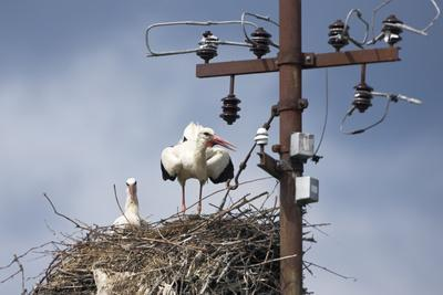 White Stork (Ciconia Ciconia) - Male and Female - Hatching