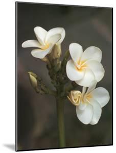 Hawaiian Flora: Plumeria Blossoms by Eliot Elisofon