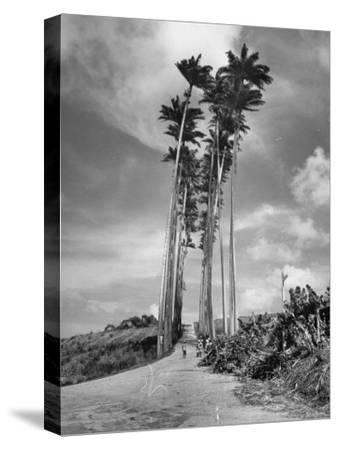 Towering Palm Trees Line Dirt Road as They Dwarf a Native Family Traveling on Foot