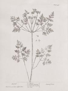 A Curious Herbal -  Chervil by Elizabeth Blackwell