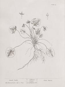 A Curious Herbal - March Violet by Elizabeth Blackwell