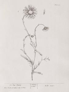 A Curious Herbal - Ox Eye Daisy by Elizabeth Blackwell