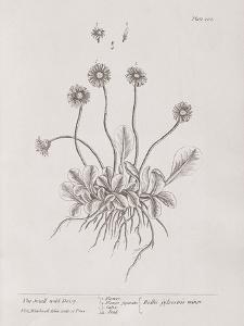 A Curious Herbal - Wild Daisy by Elizabeth Blackwell