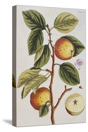 Apple Tree (Malus Sativa), 1739