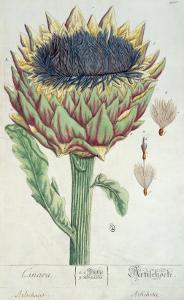 Artichoke, from 'Herbarium Blackwellianum', 1757 by Elizabeth Blackwell