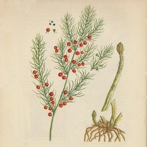 'Asparagus', 1947 by Elizabeth Blackwell